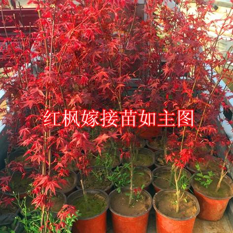 实物红枫盆景黄金枫盆景日本小叶红枫树桩盆景室内树木盆栽2015