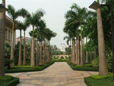 满20包邮大王椰树苗椰王苗椰子树公园/小区别墅风景树易活绿化树
