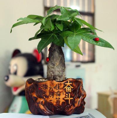 发财树绿植盆栽花卉幸福树水培植物室内办公桌面绿色盆景迷你含盆