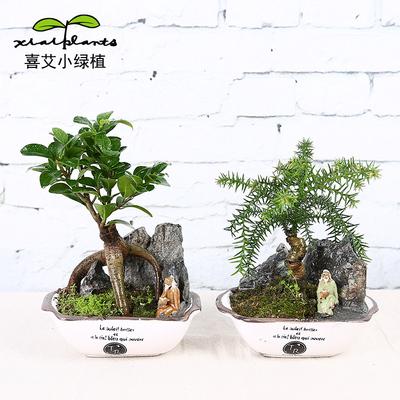 喜艾榕树澳洲杉绿植小盆栽带盆栽好室内盆景植物办公室桌面盆栽