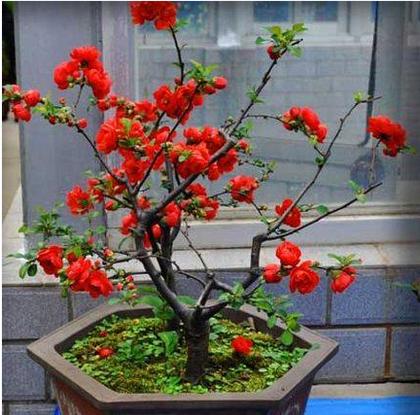 【木瓜海棠盆栽图片】