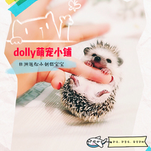 African mini hedgehog live small pet baby package live health