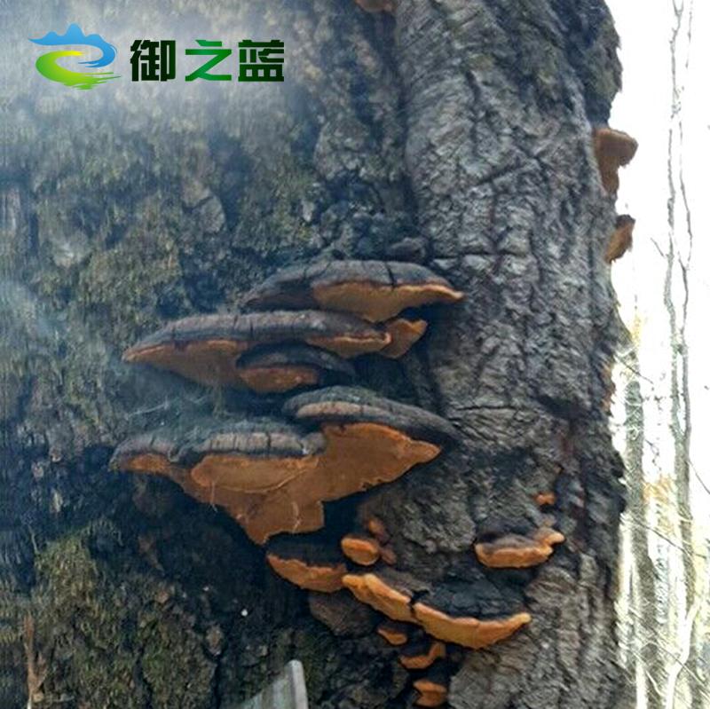 Купить Древесный гриб трутовик лакированный в Китае, в интернет магазине таобао на русском языке