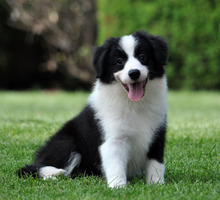 Thoroughbred champion Border Collie puppies for sale coffee dog pet dog white living place of three through seven