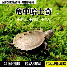 Map Tortoise America Mississippi Map turtle deep water turtle living pet turtle bag shipping risk