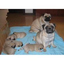 The sale of living purebred Pug kennel and small cute pug puppy dog 9 Pug