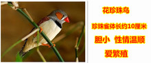 Pearl birds aviculture love send transport cage speak the pet bird watch living pearl young pet