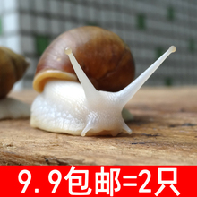Live snail white jade snail live beauty snail pet teaching snail class science experiment kindergarten