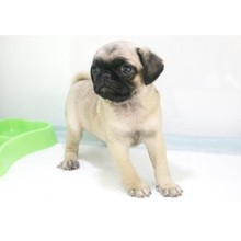 The sale of living purebred Pug kennel and small cute pug puppy dog 6 Pug