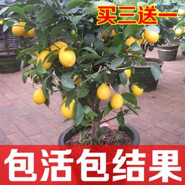 柠檬苗室内盆栽花卉树苗柠檬苗净化空气香水柠檬室内绿色清新植物