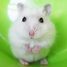 The living baby Zicang popular pet mouse hamster pudding pet domesticated fox three white line