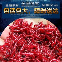 Red worms Red worms live fishing bait live bait fishing supplies fresh fish fresh wild caught fish King
