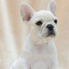 The sale of French Bulldog Puppies purebred domesticated cream double blood pet dog fighting dog dog in vivo method