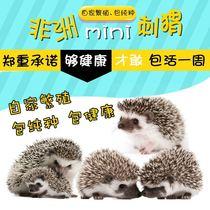 African Mini Hedgehog living Hedgehog baby hedgehog baby pet hedgehog living Africa Hedgehog
