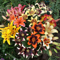 (spot) potted Asian lily seed ball Holland imported lily bulbs flowering early perennial basin grow flowers