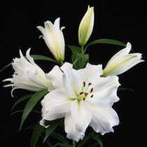 (spot) imported perfume Lily seed ball with Bud Big White lily flower ball double perennial ball root