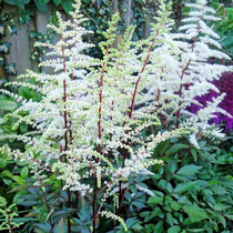 Import naked root fall Bride root perennial garden terrace floral shade potted