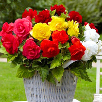 (spot) Import of ball root Begonia seed Bud couple Begonia Flower Garden terrace perennial ball root flowers