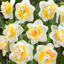 (Pre-sale November delivery) Narcissus seed Ball 5 Ball Pack Holland imported daffodil Bulbs potted perennial