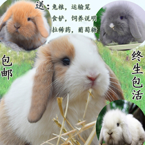 Pet rabbit live pure breed dwarf rabbit Dutch Lop rabbit cat rabbit baby Phoenix xishi life Package