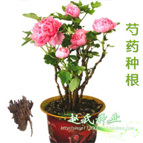 The rhizome of perennial peony root piece with Bud will leave the root of the grass roots to open peony saplings peony