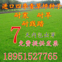 Import lawn seeds Four Seasons green do not trim dog root protection fruit Ridge Grass green tall sheep thatch grass seed