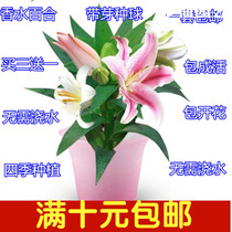 Four Seasons planting imported perfume lily flower with bud seed ball water culture package with potted good delivery package survival