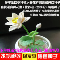 Lotus seeds have been opened Four seasons planting water Lily lotus seed indoor potted plant green flower seedlings