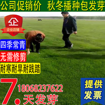 Four Seasons Green lawn seed greening slope turf grass seed hardy High sheep garden turf seed free pruning