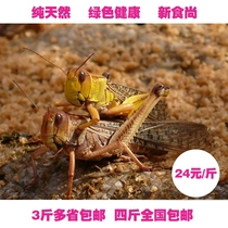 Special Locust Fresh East Asian locust flying Grasshopper earthen locust live frozen fried pet 4 Jin National