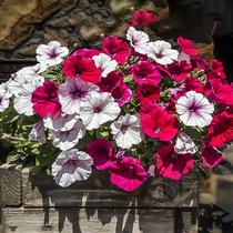 20000 dwarf Petunia seed fertilizer on balcony potted flower seed spring flower seeds Four Seasons species easy to live flower seeds