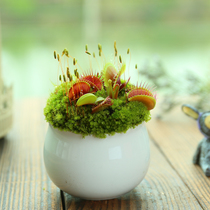 Summer Mosquito-repellent potted plant flower and potted plants. Four Seasons Thin lotus seeds