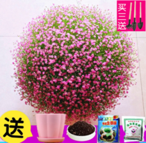 The Four seasons of potted flower seeds are easy to live flowering continuously indoor plant desktop purification air flowers