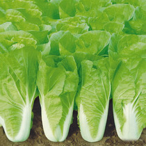 28-Day fast-growing quick-growing cabbage greens high-yielding vegetable seeds with heat-resistant and cold seasons