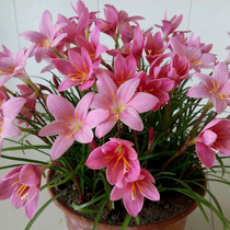 Wind and rain orchid seed seeds 4-9 months are flowering green plant potted flowers non-narcissus Lan Lan Flower Ball