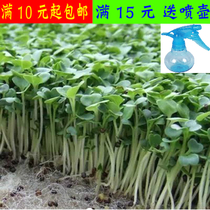 Radish sprout seed dish promotion soilless culture bulk Four Seasons easy to grow balcony organic health food