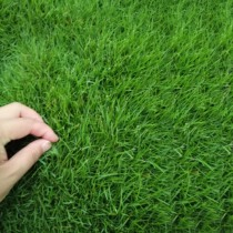 Ryegrass high sheep thatched seed lawn seed Garden villa resistant to trampling Four Seasons Green dog root slope protection grass seeds