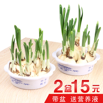 Zhangzhou Daffodils aquatic plants potted plant indoor and winter hydroponic flowers Four seasons daffodils species desktop large flower ball