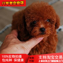 Shanghai pet dog live red Teddy Puppy VIP snow Naribi Xiang Dog Teacup grey Teddy support Taobao
