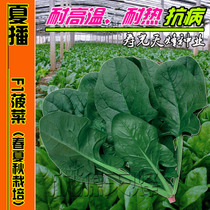 Summer large-leaf spinach seeds Spring Autumn heat-resistant round-leaf resistance balcony Four seasons sowing fast vegetables