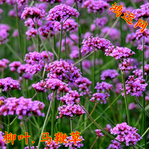 Willow Grass seed flower seeds perennial flower seed garden landscape green flower Sea seeds