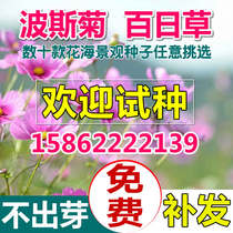 Perennial flowers and flowers flower seeds Four Seasons easy to sow cosmos Hundred Days grass flower sea landscape courtyard Landscaping