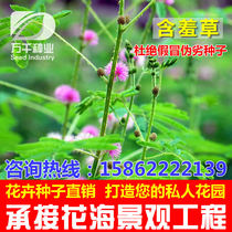 Mimosa perennial perennial flowers and plants seeds Four Seasons sowing garden flower sea landscape flowering plant seeds