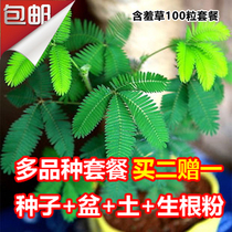 Shy grass seed mimosa potted plant package balcony green Flower seed mint Four Seasons easy species