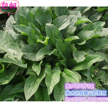 Russian feed vegetable roots russian food polymerization grass pig vegetable high protein leaf large perennial forage