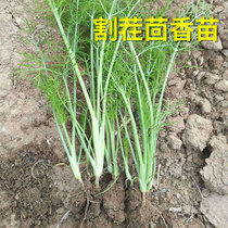Stubble fennel seeds cold-resistant seed bulb edible size fennel vegetable balcony Four seasons sowing potted vegetable seedlings