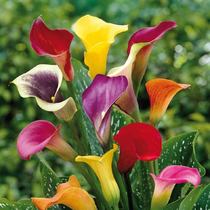 Color Calla Bulbs Holland import big ball color horse seed bud perennial potted bulb flower