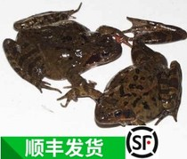 Shun Fung 500 g 12 Changbai Mountain forest Frog Toad Mother Bao Live Forest Frog dry snow clam
