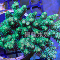 Green fish scale novice test water good to raise easy to live sea tank Indonesian hard bone SPS live coral Shunfeng