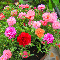 Double-color seed-colored sun-blossom seeds die in the Four seasons. Flowering continuously indoor balcony potted seeds